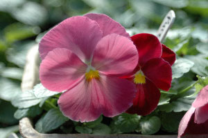 Pansy pure rose