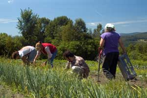 garlic harvest with Belovs